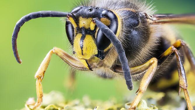 Użądlenie przez szerszenia może zabić. <br />O alergii dowiadujemy się po fakcie