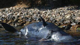 Martwy kaszalot wyrzucony na brzeg. W jego wnętrznościach 22 kilogramy plastiku