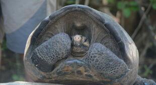Samica uznawanego za wymarły podgatunku żółwia słoniowego (PAP/EPA/ECUADOR ENVIRONMENT MINISTRY)