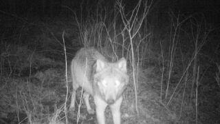 Wilki podchodzą pod Łódź