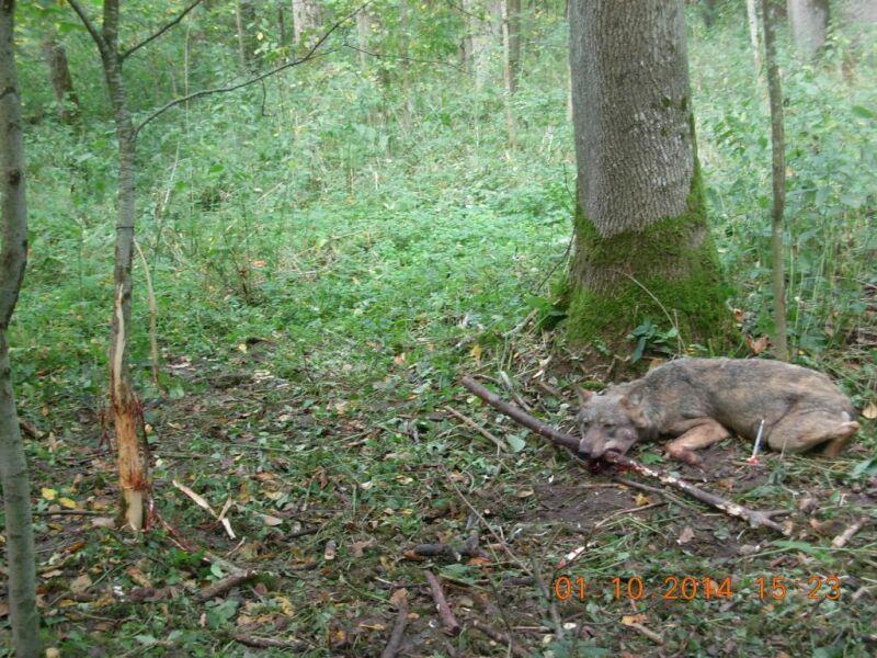 Leśnicy znaleźli wilka we wnykach