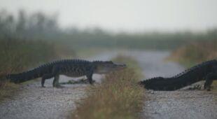 Przemarsz aligatorów